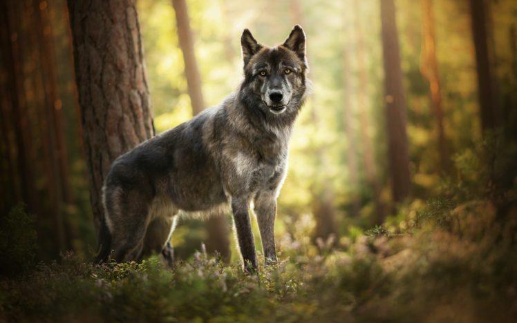 le loup fenrir dans les bois